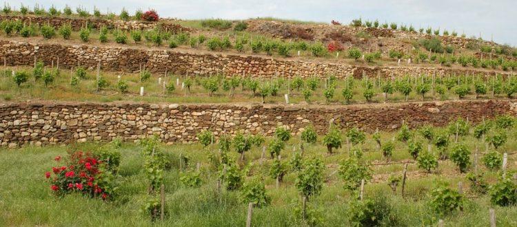 Vignes Pyrénées Orientales