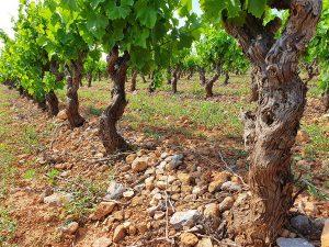 Chambre d'hote oenotourisme souche vigne Rivesaltes 66