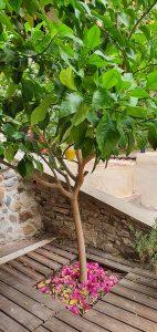 tourisme-ecologique-paillage-arbres-agrumes-66